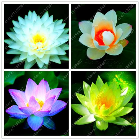lotus flower seeds 10pcs bag lotus flower lotus seeds aquatic plants water