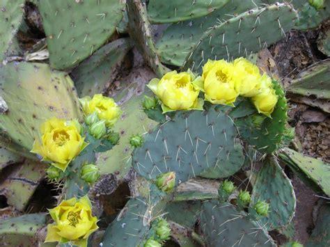 pianta grassa fiori piante grasse con fiori piante grasse piante grasse