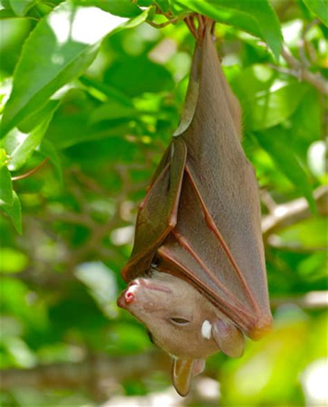 a fruit bat fruit bat mammal britannica