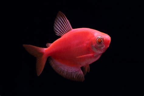 Fish Glow In The glofish 174 gallery