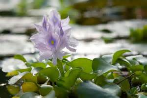 Cut Foliage Plants - water hyacinth care how to grow water hyacinth plants