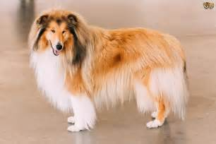 Small But Beautiful Homes - rough collie hereditary health and health testing pets4homes