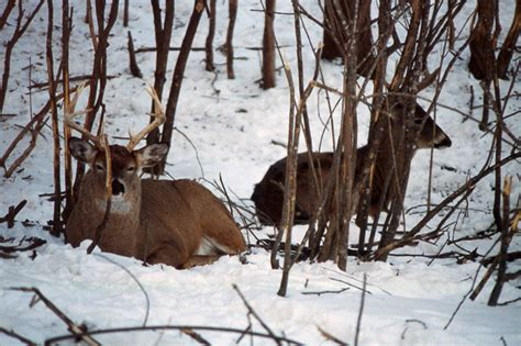 deer bedding areas back to the basics whitetail beds and bedding areas by dr ken nordberg