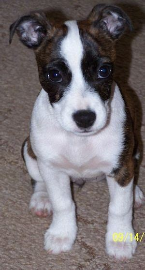 bojack puppies bojack boston terrier and terrier mix waggers