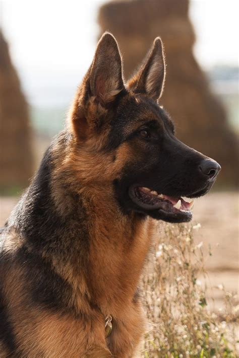 Why Do German Shepherds Shed So Much by Big Thing German Shepherds And Bagels On