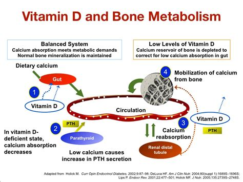 Vitamin Metabolisme vitamin d and bone metabolism