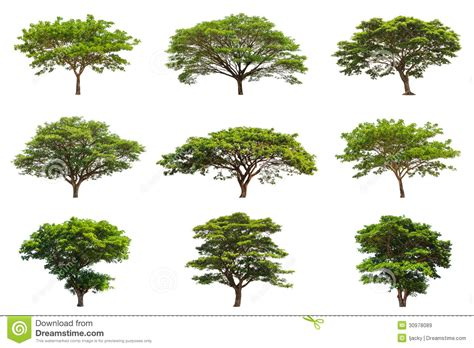 Design House Plans by Collection Of Rain Trees Samanea Saman Royalty Free