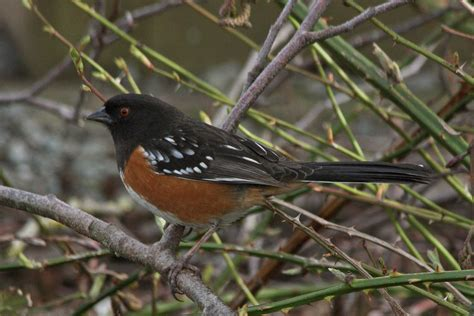 spotted towhee wikipedia