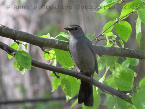 anne s creative cornucopia quot grey bird black cap quot photograph