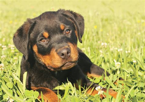 rottweiler bloat learn about the rottweiler breed from a trusted veterinarian