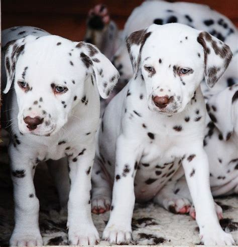 dalmatian puppies for sale tn dachshund puppies for sale 650 posted 3 months ago for sale dogs breeds picture