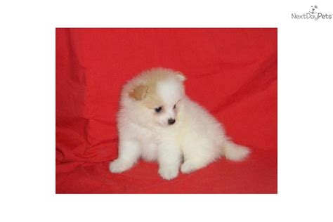teddy pomeranian for sale teddy pomeranian puppies for sale on island breeds picture