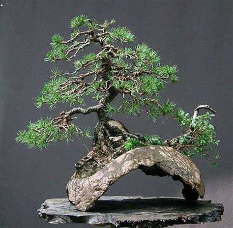 libro bonsai the art of walter pall bonsai adventures mugo pine bonsai bonsai art bonsai tree bonsai bonsai