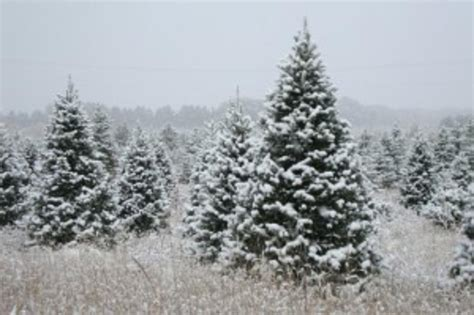 best christmas tree farms mn best tree farms in st cloud and central minnesota