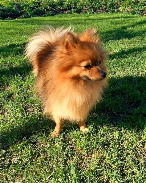 chien pomeranian 25 best ideas about chien spitz nain on chiens pomeranian spitz