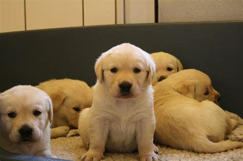 lab retriever puppies goldens retrievers lab golden retriever puppies