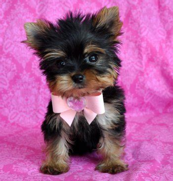 yorkie diet yorkiepoo terrier poodle mix info temperament diet puppies