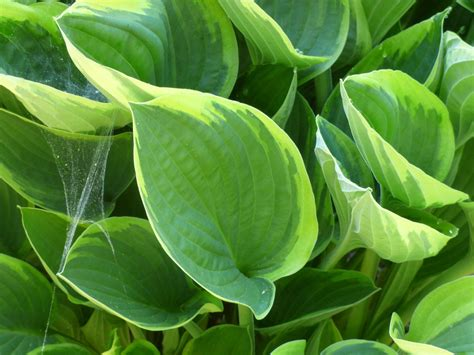 different types of hostas learn about common varieties of hosta