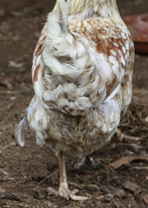 natural chicken keeping molting season fewer eggs and