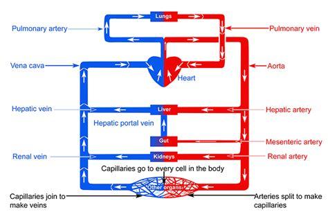 Veins Diagram