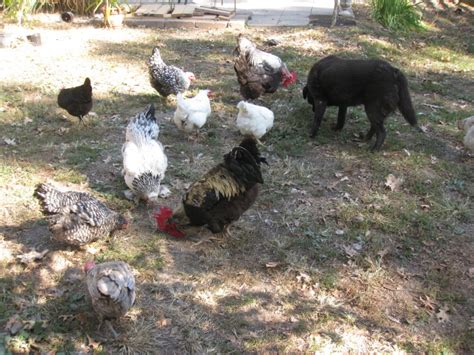 how to care for chickens in your backyard backyard chicken raising backyard chickens