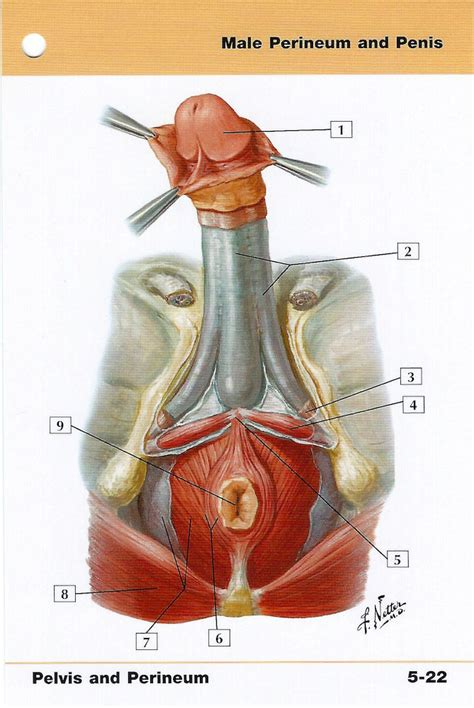 partes del pene male perineum and penis anatomy flash card by frank h netter