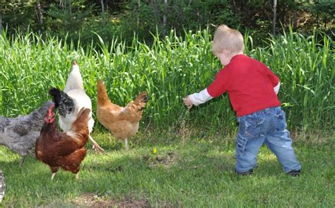 Best Backyard Chickens Uk Backyard Chickens Norfolk Va 28 Images Hello From