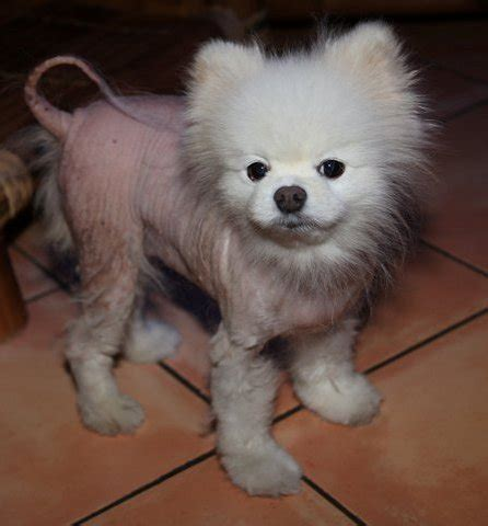 alopecia x treatment pomeranians black skin disease pomeranian breeds picture