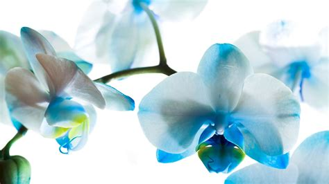 blue orchid blue orchid wallpapers high quality free