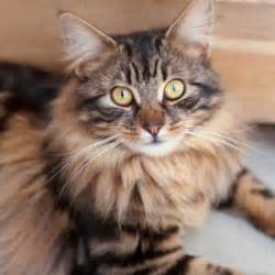 Long haired tabby cat with bengal markings cats the best cuddly
