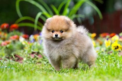 pomeranian name pomeranian names for your or puppy gardens puppys and puppy images