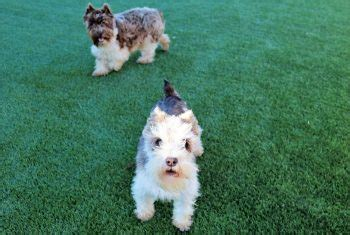 puppies cleveland ohio nexgen lawns artificial grass cleveland artificial turf