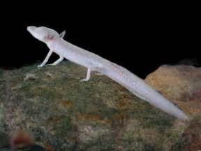 Synonyms Of Blind Texas Blind Salamander Wikipedia
