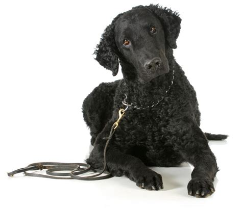 Curly Coated Retriever Breeders Picture And Images