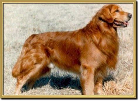 golden retriever pedigree database gold