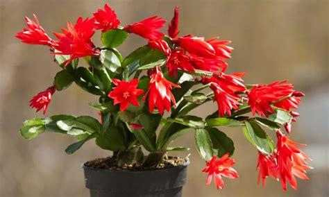 fiori di cactus piante cactus di natale