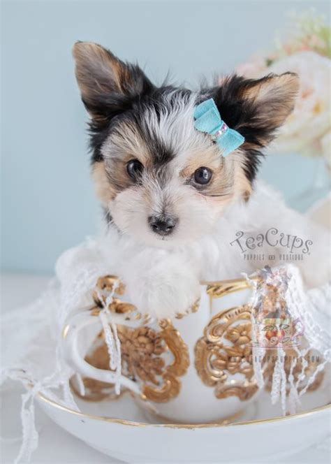 biewer yorkies for sale biewer terrier puppies for sale by teacups puppies boutique teacups puppies