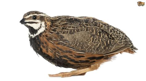 keeping quail in an aviary pets4homes