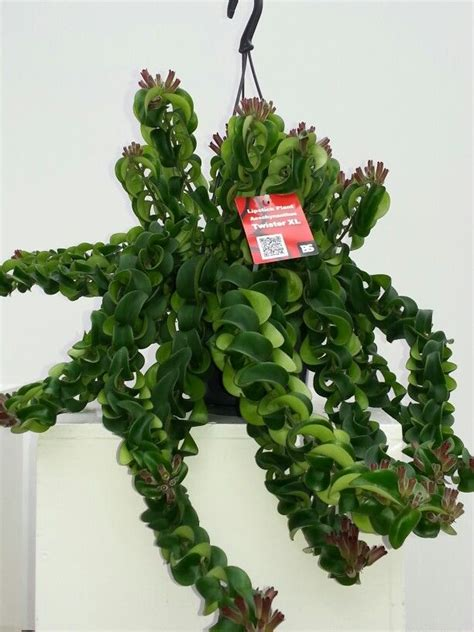 Indoor Tropical Foliage Plants - aeschynanthus twister xl by bs plant aeschynanthus lipstick plant pinterest lipsticks