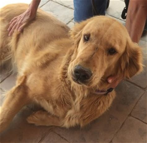 golden retriever rescue in arizona southern arizona golden retriever rescue
