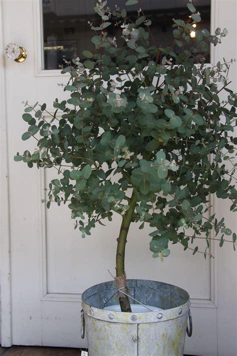 grow eucalyptus pflanzen zimmerpflanzen