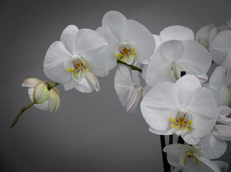 orchidea fiore the world s best photos of fiore and orchid flickr hive mind