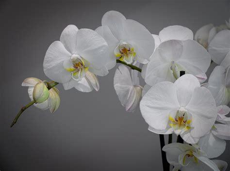 fiore orchidea orchidea fiore 28 images orchidea caratteristica fiore