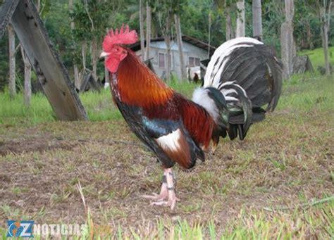 gallos de peleas de todas las razas apexwallpapers com gallos de peleas de todas las razas apexwallpapers com