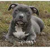 Red Nose Blue Pitbull Puppy Car Pictures