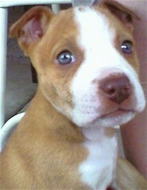 boxer terrier puppies boxer mix staffordshire terriers and boxers on