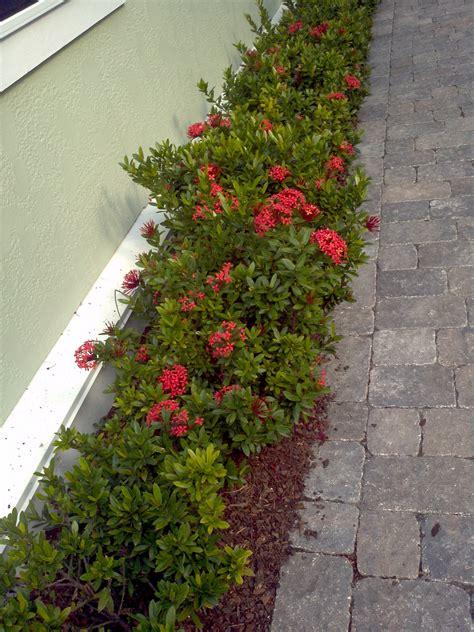 Flowering Evergreen Shrubs Full Sun - buy ixora in orlando florida lake mary kissimmee sanford