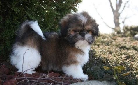 adopt a shih tzu shih tzu puppy for adoption offer