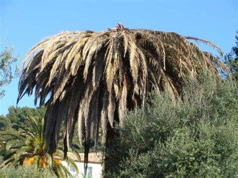 palma da giardino palma pianta piante da giardino palma pianta