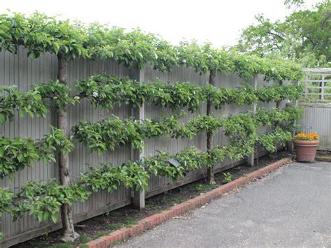 espalier fruit trees creative fences the plant farm